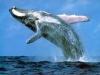 humpback_whale1