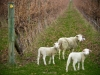 Lambs among the Margaret River vineyards