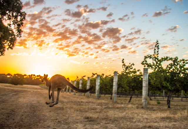 Out in the Margaret River vineyards Summer 2015