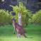 Kangaroo in Cape Mentelle vineyard 2